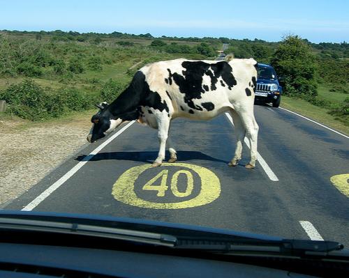 Interruptions cow